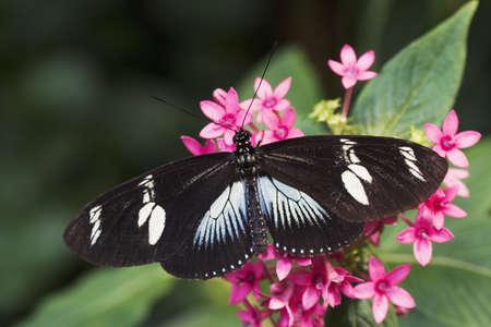 コスタリカの熱帯雨林へのネイティブなドリス ・ Longwing 蝶 (Heliconius doris)