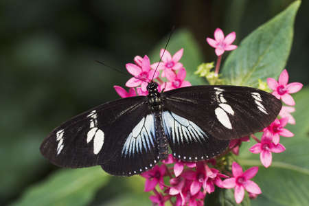 Doris Longwing Butterfly (Heliconius doris) Native to the tropical rainforest of Costa Rica