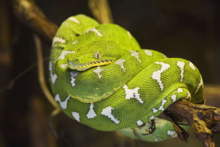 suriname: Emerald Tree Boa (Corrallus caninus) Het bereik van de Emerald tree boa omvat Venezuela, Colombia, Peru, Bolivia, Guyana, Frans Guyana, Suriname en Brazilië. Stockfoto