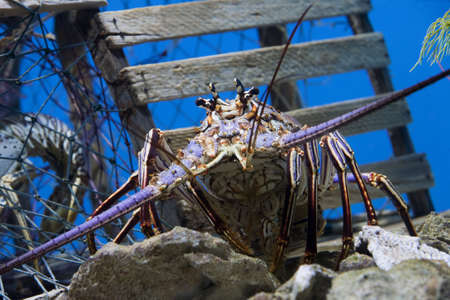 inhabits: Caribbean Spiny Lobster  also knowen as the Florida Spiny Lobster (Panulirus argus) inhabits tropical and subtropical waters of the Atlantic Ocean, Caribbean Sea, and Gulf of Mexico.