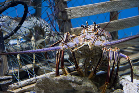 spiny lobster: Caribbean Spiny Lobster  also knowen as the Florida Spiny Lobster (Panulirus argus) inhabits tropical and subtropical waters of the Atlantic Ocean, Caribbean Sea, and Gulf of Mexico.