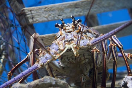 spiny lobster: Caribbean Spiny Lobster  also known as the Florida Spiny Lobster (Panulirus argus) inhabits tropical and subtropical waters of the Atlantic Ocean, Caribbean Sea, and Gulf of Mexico.