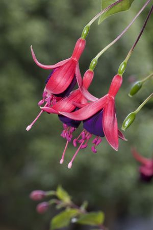 Red flowers showing close-up of the seamem and pistil