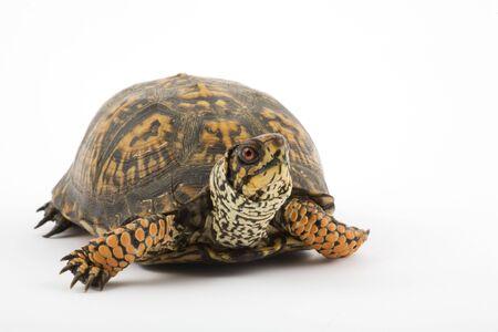 Volwassen Oost-Box Turtle (Terrapene Carolina Carolina) is een ondersoort binnen een groep van scharnier-dop schildpadden, normaal gesproken vak schildpadden. Stockfoto