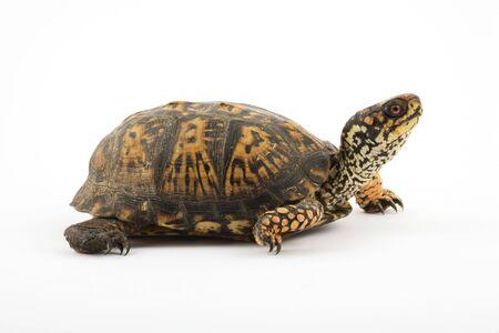 성인 동부 상자 거북이 (Terrapene 캐롤라이나 캐롤라이나)는 일반적으로 상자 거북이라고하는 경첩 껍질 거북의 그룹 내에서 종입니다.