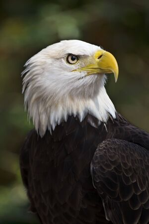Bald Eagle (Haliaeetus leucocephalus) the United States national bird Stockfoto