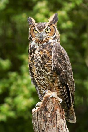Portrait of a great horned Owl Bubo viriginianus Stockfoto