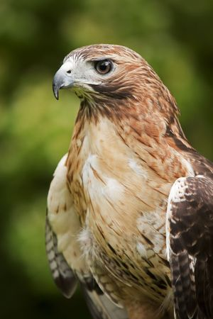 Close-up van een Red Hawk Tailed Buteo jamaicensis
