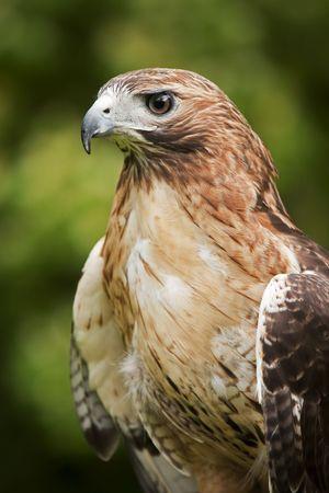 Der eine Red Tailed Hawk Buteo Jamaicensis hautnah