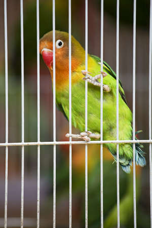 Pet Lovebirds at a local pet store.The Fischer's Lovebird (Agapornis fischeri) is a small parrot species of the Lovebird genus. Fischer's Lovebird are native to a small area of east-central Africa, south and southeast of Lake Victoria in northern Tanzania Stock Photo - 9673651