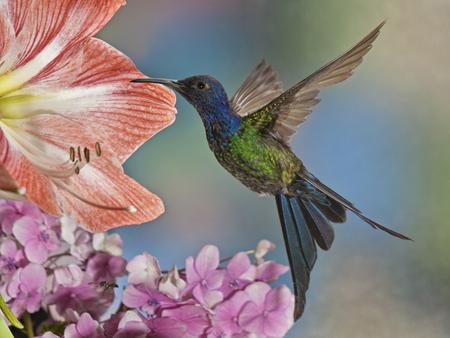 Een mooie The Swallow-tailed Hummingbird Eupetomena macroura uit de countyside van Brazilië Stockfoto - 30820427
