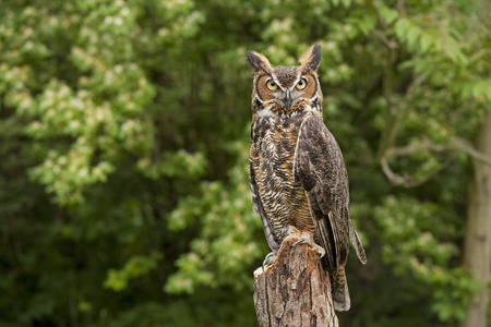 Portrait of a adult Great Horned Owl Bubo viriginianus Stock Photo - 32102559