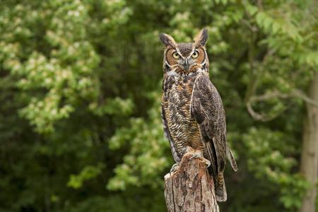 Portrait of a adult Great Horned Owl Bubo viriginianus