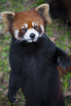 The red panda Ailurus fulgens, also known as Lesser Panda and Red Cat-Bear, is a small arboreal mammal native to the eastern Himalayas and south-western China.  The red panda is endemic to the temperate forests of the Himalayas, and ranges from the foothi