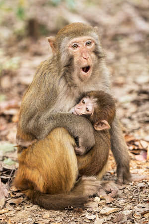 The Rhesus Macaque Macaca mulatta, is one of the best-known species of Old World monkeys.  Rhesus Macaques inhabit a great variety of habitats from grasslands to arid and forested areas. Native to northern India, Bangladesh, Pakistan, Nepal, Burma, Thailand, Afghanistan, Vietnam, southern China. Banco de Imagens