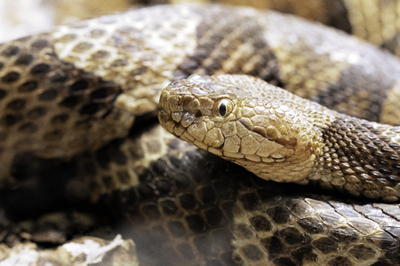 Northern Copperhead, Agkistrodon contortrix is a venomous pit viper found in Eastern North America