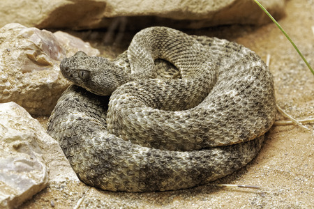 Tiger Rattlesnake, Crotalus tigris is a pit viper from the rocky foothills of the Sonoran Desert from south central Arizona into Mexico
