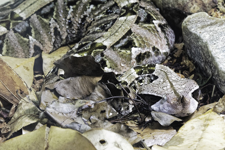 Gaboon Viper Bitis gobonica is native to the rainforests and savannas of sub-Saharan Africa in West Central Africa