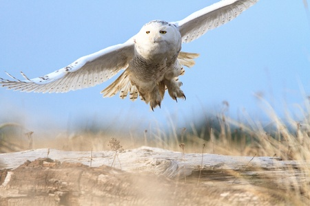 snowy owl: Snowy Owl at Damon Point Stock Photo