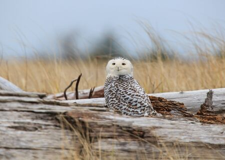 shores: Snowy Owl at Damon Point Stock Photo