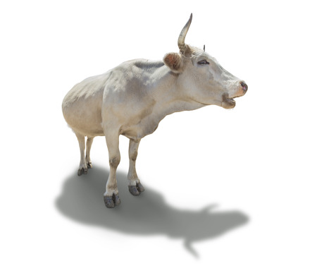 white cow with long horns isolated on white photo