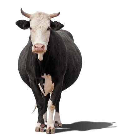 Koe of kalf staande op de grond. De koe is geïsoleerd op een witte achtergrond en kan schaduw werpen