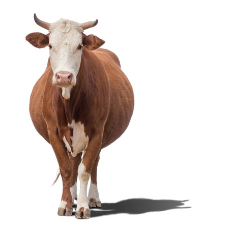 Cow or calf standing on the ground. The cow is isolated on white background and may cast shadow