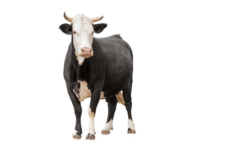 black and white farm: Cow or calf standing on the ground. The cow is isolated on white background and may cast shadow