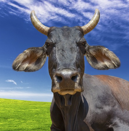 pointy: Cow head isolated against blue sky and green grass. The cow is staring at the camera and has big pointy ears. Stock Photo