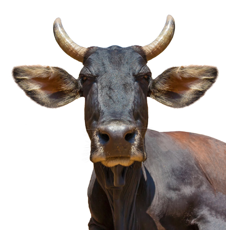 pointy: Cow head isolated on white. The cow is staring at the camera and has big pointy ears. Stock Photo