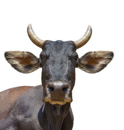 Cow head isolated on white. The cow is staring at the camera and has big pointy ears. photo