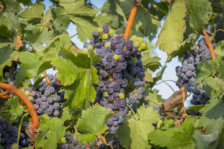 israel agriculture: Green and black grapes hanging in the vineyard.Green leaves and vineyard are shown in the image as well.