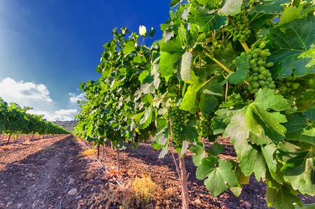 israel agriculture: Green vineyard and blue sky in Israel. The images is takes on a clear day with clouds in the sky. there is also bright sun glare. HDR Images.