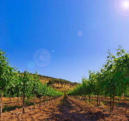 Green vineyard and blue sky in Israel. The images is takes on a clear day with clouds in the sky. there is also bright sun glare. HDR Images. photo