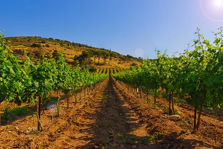 Green vineyard and blue sky in Israel. The images is takes on a clear day with coulds in the sky. tere is also bright sun glare.HDR Images.