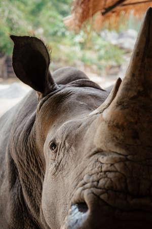 Close up rhinoceros muzzle with huge horn Reklamní fotografie
