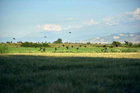 Ravens in group on the barley field Standard-Bild