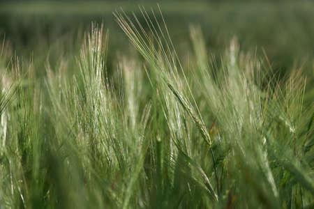 Ears of malting barley in the field