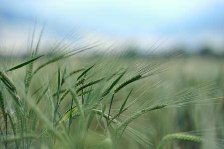 Ears of green barley in the field