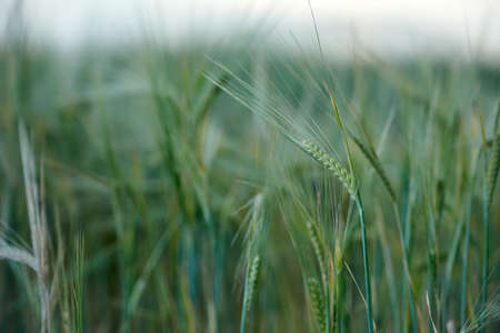 Field of green barley cereals. Green malting barley in the field Standard-Bild