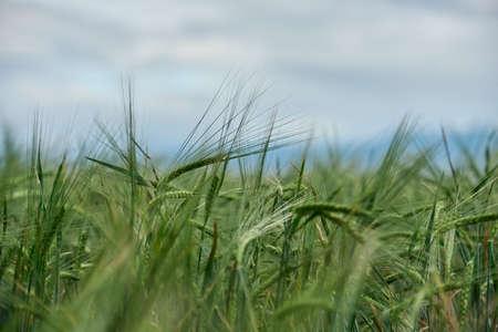 Summer field of new fresh green barley cereals