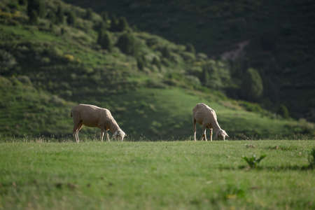 sheep are eating grass in the field