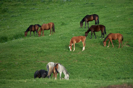 Brown horses standing and eating fresh grass in a green meadow. Among brown horses is a gray horse standing with its foal. Cattle breeding in the mountains. Agriculture in the highlands.