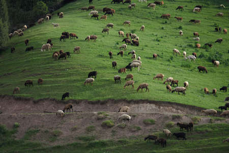 Sheeps grazing in the middle of field in the evening light in the mountains of Kyrgyzstan