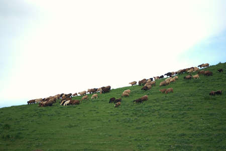 Sheeps grazing in the middle of field in the evening light in the mountains