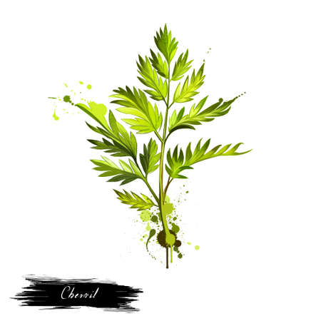 herbes: Chervil or French parsley herb graphic illustration. Delicate annual herb related to parsley. Used to season
