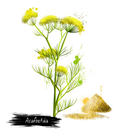 Asafoetida plant and pile of hing powder, indian cuisine spice. Labels for Essential Oils and Natural Supplements. Dried latex gum oleoresin exuded from the rhizome or tap root. Digital art image