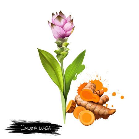 peppery: Curcuma flower, root and powder isolated on white. Turmeric Curcuma longa rhizomatous herbaceous