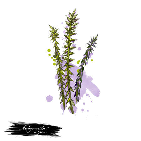 Apamarg Prickly Chaff flower Achyranthes aspera ayurvedic herb digital art illustration with text isolated on white. Healthy organic spa plant widely used in treatment, for preparation medicines.
