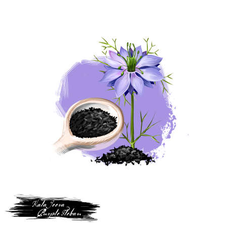 Kala Jeera - Purple Fleban ayurvedic herb digital art illustration with text isolated on white. Healthy organic spa plant widely used in treatment, for preparation medicines for healthcare